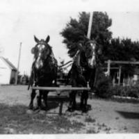 Work horses on Vic Schmieg's farm at present day Highway 5 and County Road 17 - circa unknown.